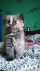 Female persian kittens for sale