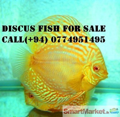 Albino discus fish for sale for Discus fish price
