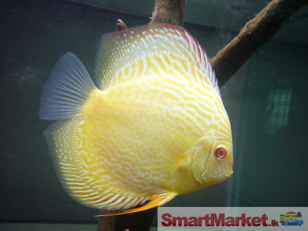 Albino discus fish for sale for Discus fish for sale cheap