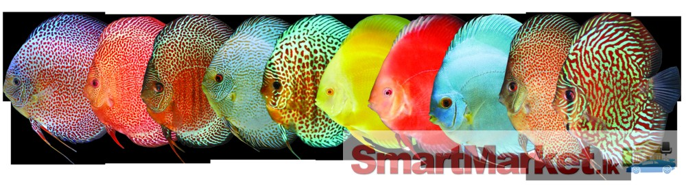 Red pigeon discus quotes for Discus fish for sale cheap