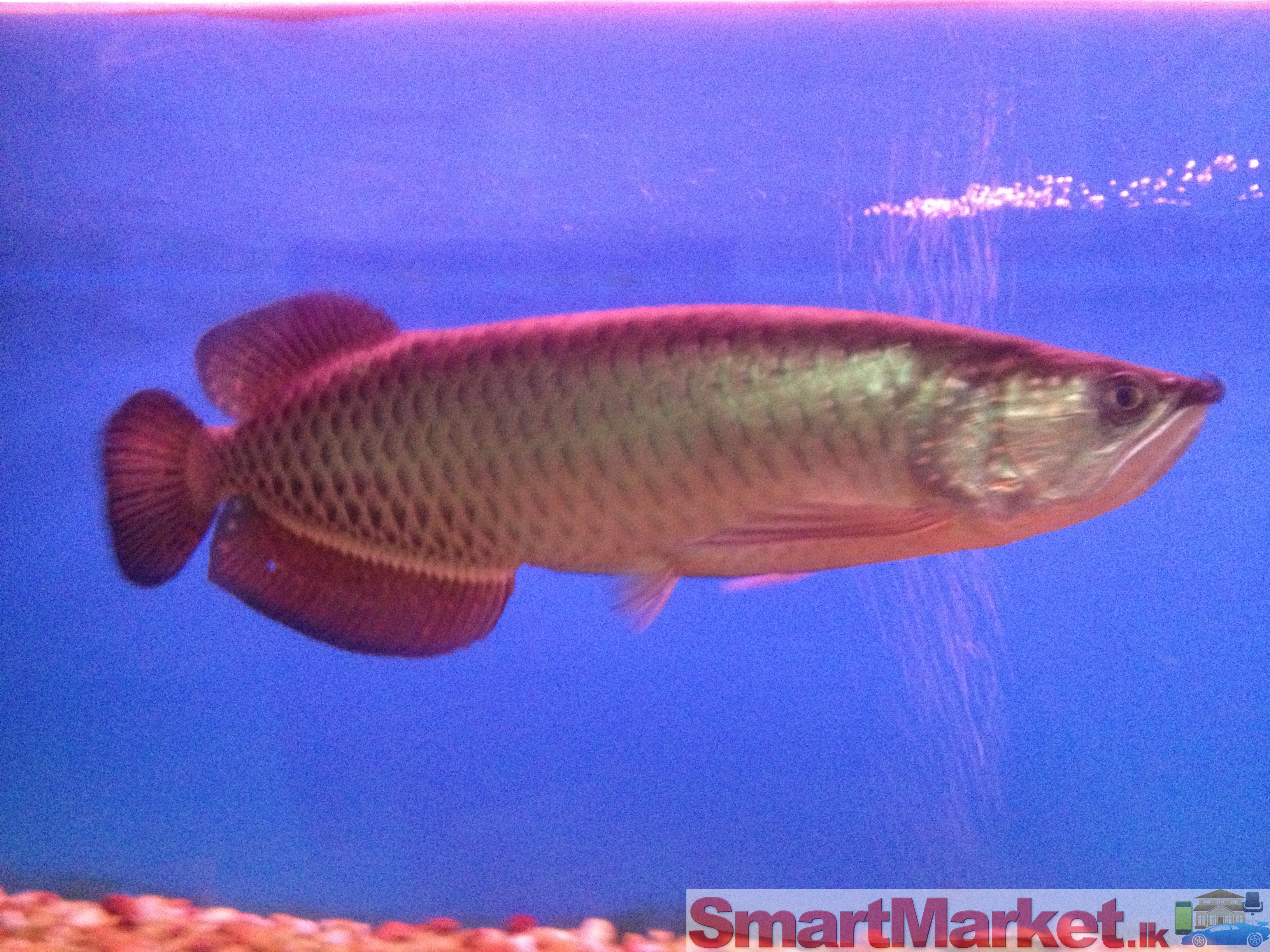 Pearl Arowana With Tan...