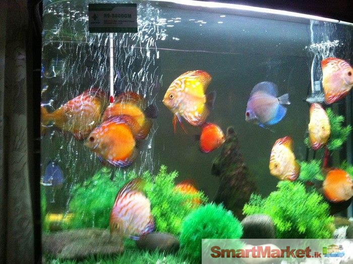 Discus fish quality discus fish like clean water and a for Discus fish price