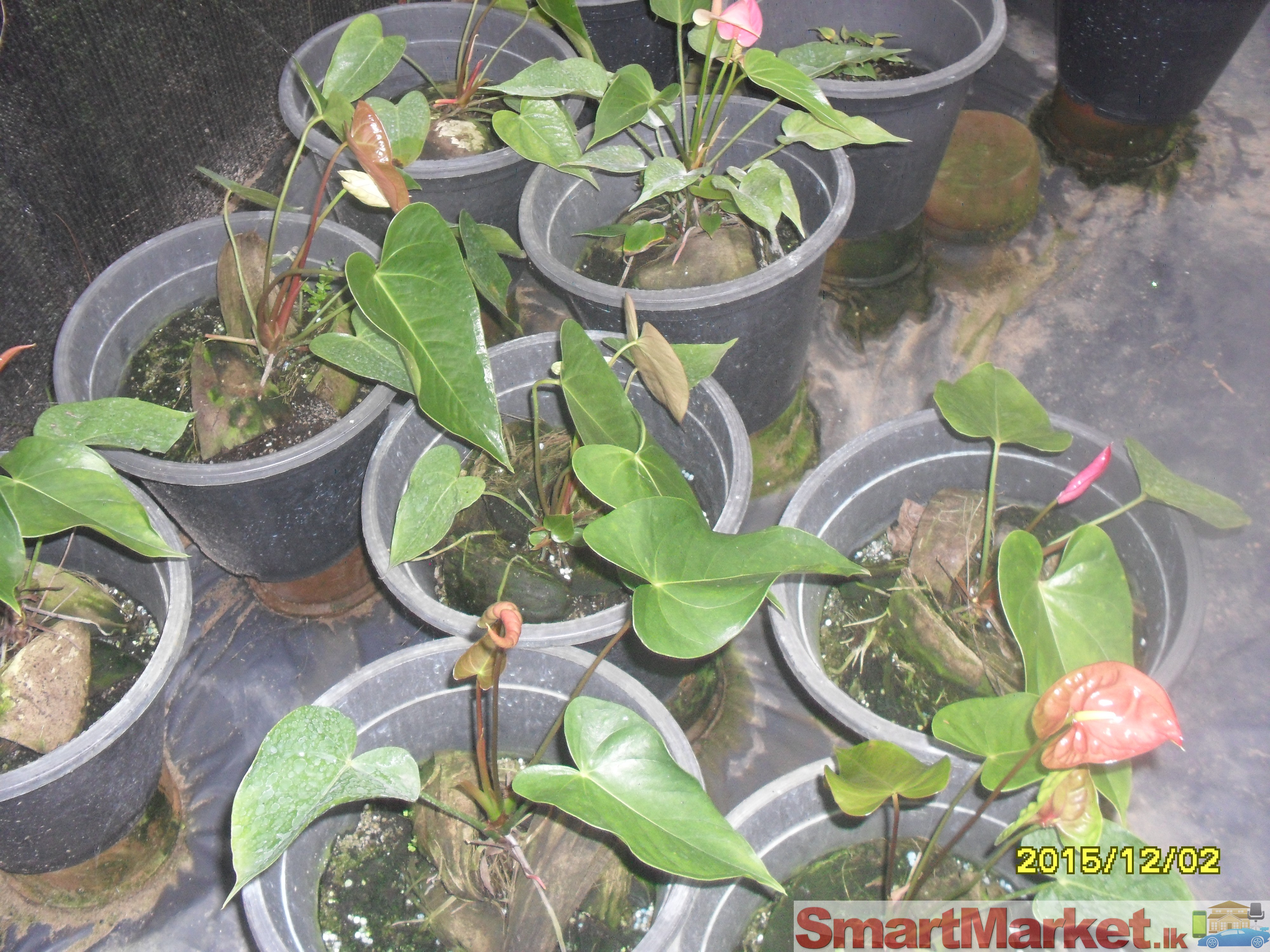 Anthurium Plants With Net House For Sale