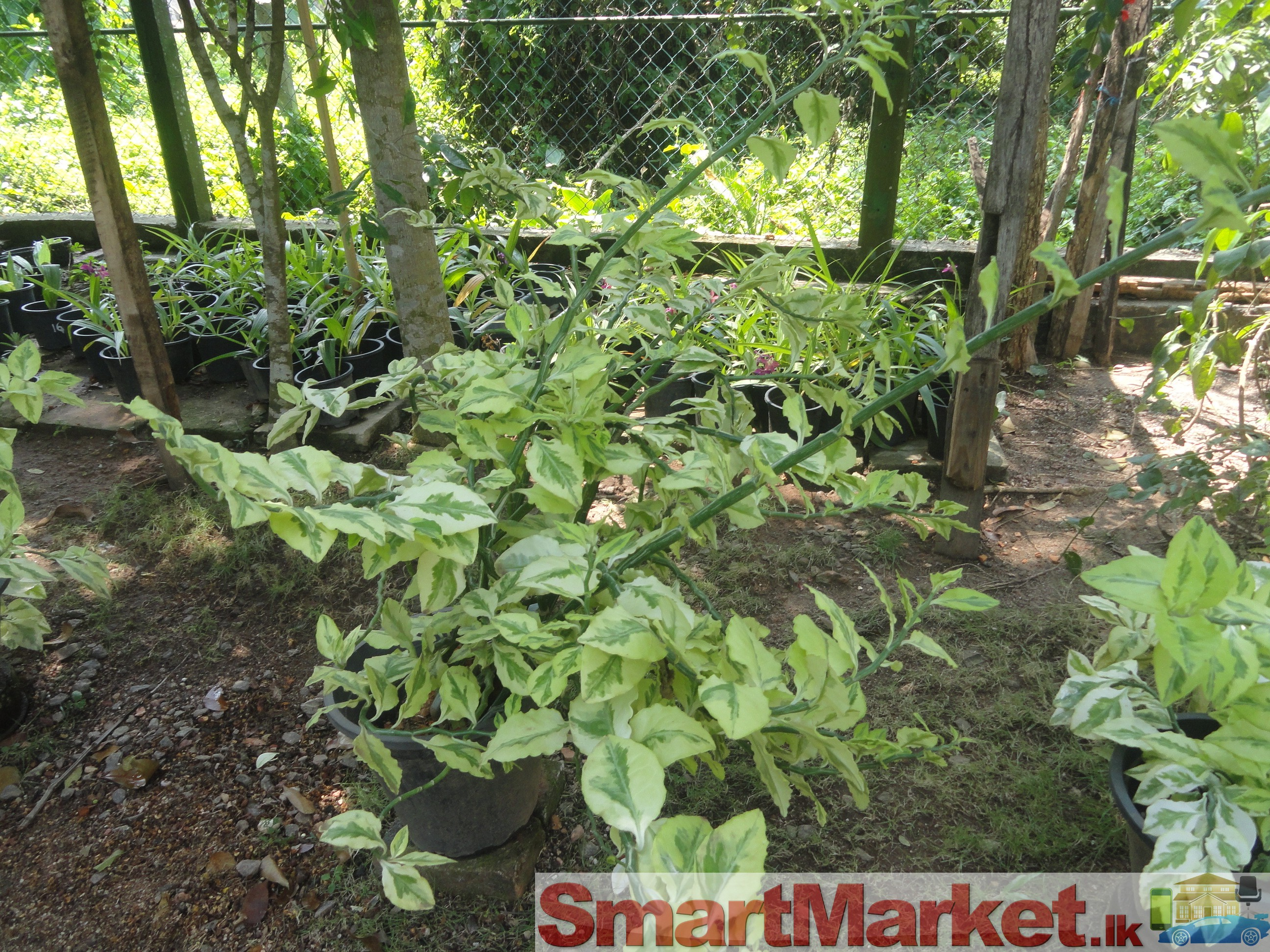 Ornamental plant for Ornamental garden plants