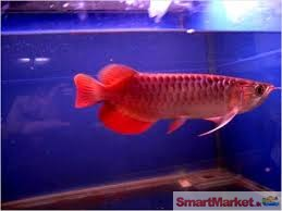 Super arowana fishes