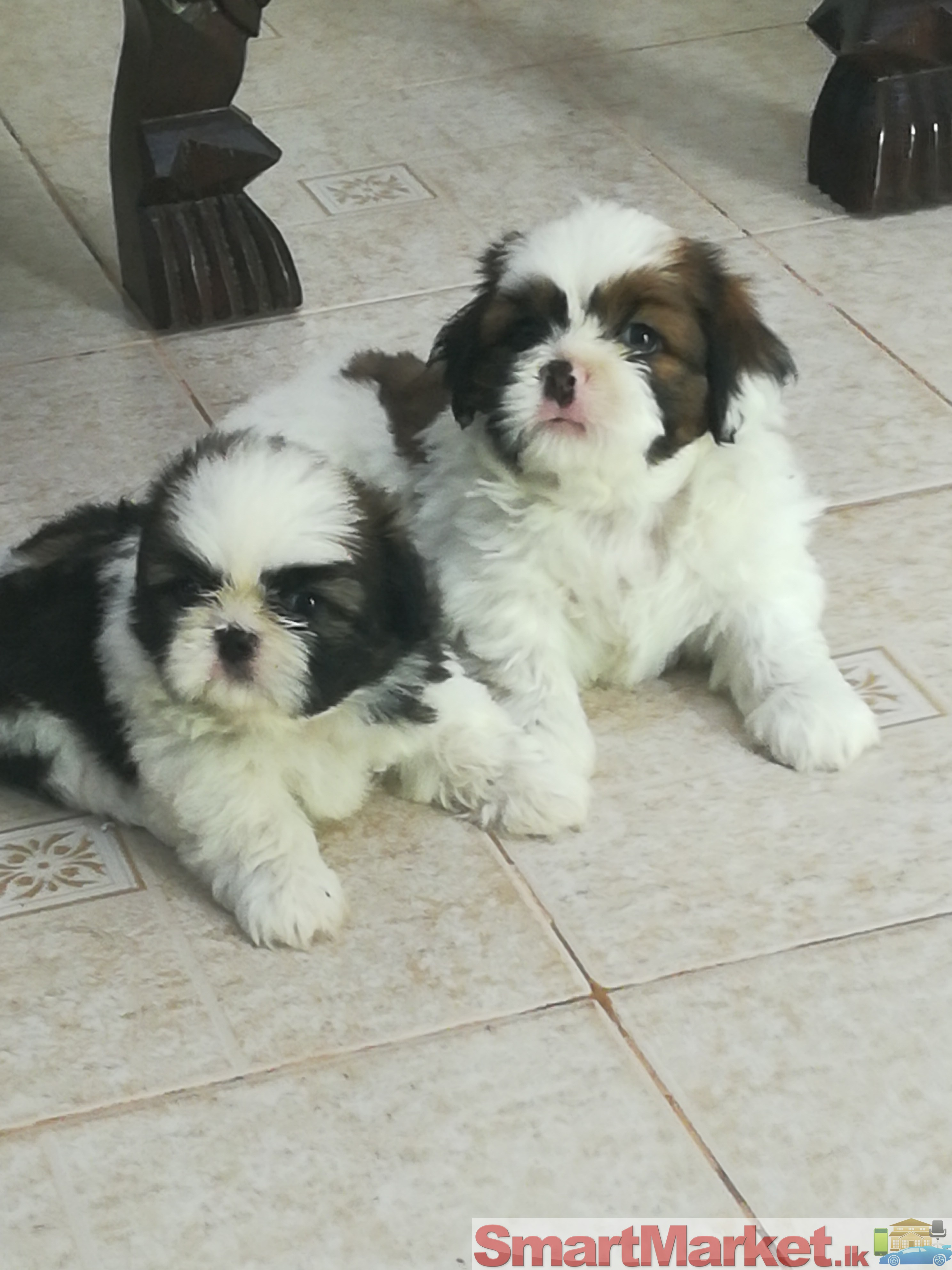 Lovely Shihtzu Puppies For Sale!