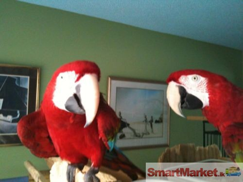 Breeding Pair of Scarlet Macaw Parrot