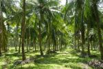 6 Acres Well Grown Coconut Land for Sale at Nittambuwa