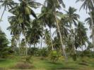 Valuable 15 acres Coconut Land for Sale in Chilaw