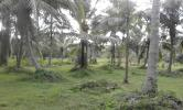 2.5 acres coconut land available for sale at Chilaw