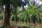 Coconut Estate for sale in Matale 21A / 3R/ 18P