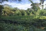 Well Cultivated Land for Sale at Deraniyagala.